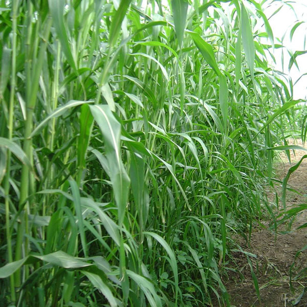 Семена суданской травы и эспарцета